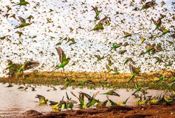 Волнистые попугаи на водопое. Фото: Paul Williams / Rex Features / Fotodom.ru